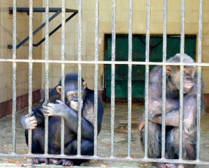 caged-chimpanzees-537x434