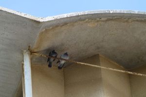 pigeons nice Moroccan family Daily Freier